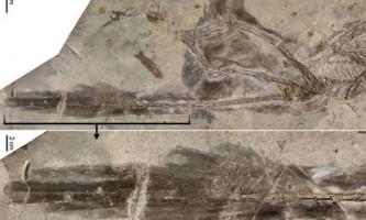 Довгі пір`я хвоста допомагали четирёхкрилому динозавру приземлятися