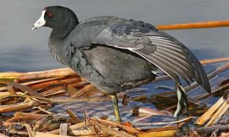 Для боротьби з зозулями лиски висиджують еталонних пташенят