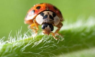 Для чого божим корівок (coccinellidae) «антифриз»?