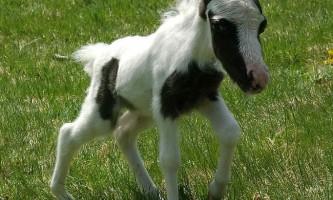 Найменшому поні в світі виповнився рік