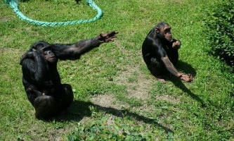 Складено повний словник жестів шимпанзе