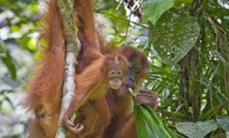 Днк орангутангів змінювалася дуже повільно
