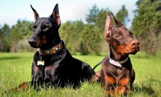 Доберман - елегантна собака зі службовими якостями