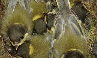 Добросусідські відносини підвищують плодючість у птахів