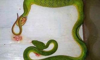 Живородящі змії. Фото народження змій