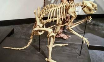 Доісторичні кенгуру пересувалися подібне до чоловіка