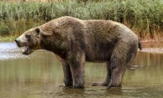 """Доісторичні """"морські ведмеді"""" кусалися, як шаблезубі кішки"""