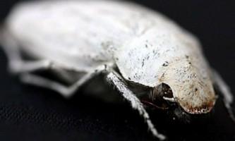 Доісторичний бурштин приховував жука-ошуканця