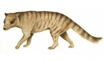 Доісторичний тасманський тигр полював на великих тварин
