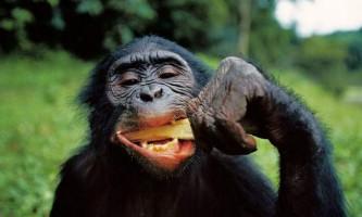 Доведені кулінарні здібності шимпанзе