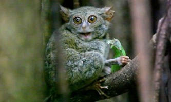 Долгопят-привид - потойбічна істота або примат?