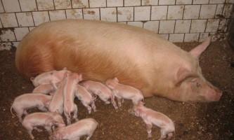 Опорос свиноматок
