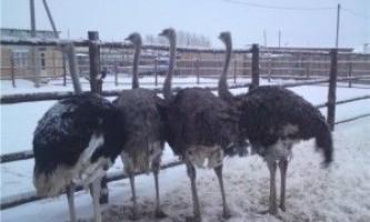 Домашні страуси
