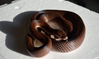 Домова африканська змія - слухняний вихованець