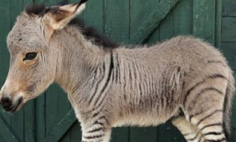 Донкра - зебра або осел?