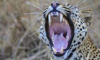 Дорога кожна секунда: тварини з великим мозком позіхають довше
