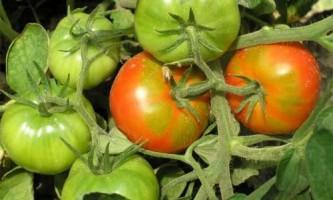 Дозаривание помідорів. Способи дозаривания томата