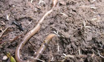 Дощові черв`яки шкодять лісовому грунті