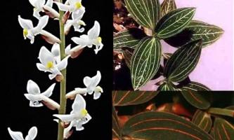 Дорогоцінна орхідея - лудізія
