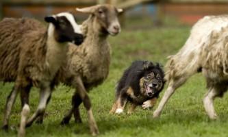 Дресирування вівчарки як пастуха овець