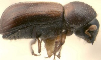 Древесіннік хвойний або жук-короїд
