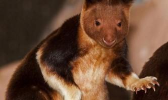 Деревні кенгуру гудфеллоу - «сумчасті мавпи»