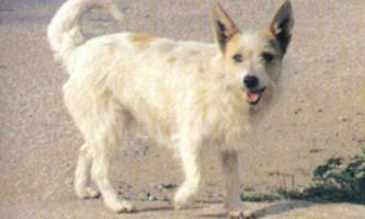 Найдавнішою грецькою породі собак загрожує вимирання