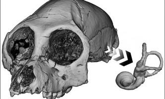 Стародавні людиноподібні мавпи були швидше і вправніше сьогоднішніх