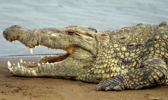 Стародавні крокодили були страшними хижаками