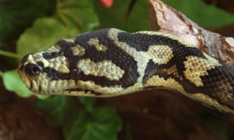 Стародавні змії поголовно вели підземний спосіб життя