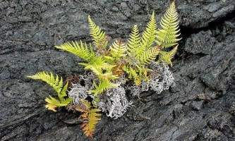 Древній папороть відродився через 60 мільйонів років