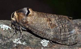 Шашіль пахучий - нічний метелик