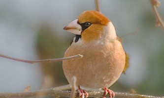 Дубоноси (лат. Coccothraustes)