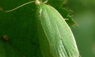 Дубова листовертка - зелена. Навколишнє середовище і спосіб життя.