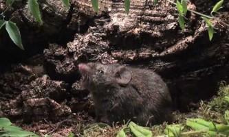 Два види співаючих мишей живуть в америці