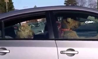 Дві собаки викрали автомобіль
