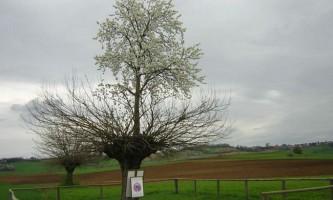 Подвійне дерево касорцо: дерево, що росте на верхівці іншого дерева