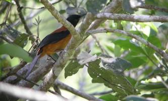 Двокольоровий пітоху (pitohui dichrous) - отруйна птах
