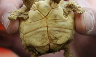 Двоголова черепаха з п`ятьма ногами