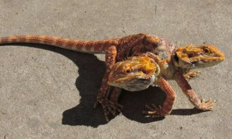 Двоголовий, шестиногий бородатий дракон