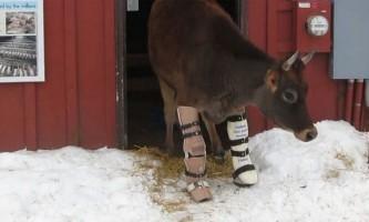 Двонога корова навчилася ходити за допомогою протезів