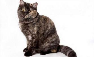 Димчасті забарвлення британських кішок