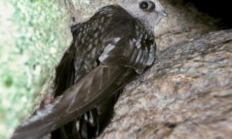 Димчастий іглохвостих - птица- «серпанок»