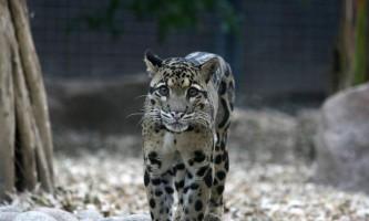 Димчастий леопард: фото і відео плямистого хижака