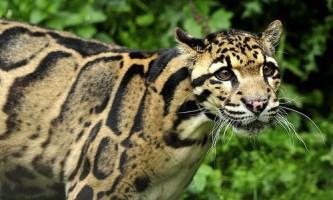 Димчастий леопард (neofelis nebulosa)