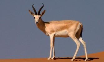 Джейран - азіатська газель