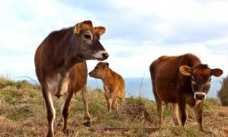 Джерсейська порода корів