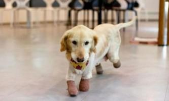 Ледь не з`їдена в корейському ресторані собака втратила лап, але знайшла господарів