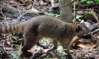 Єнот-ракоед: фото, опис тварини