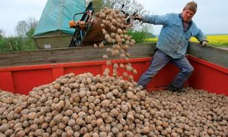 Єврокомісія схвалила культивацію гм-картоплі